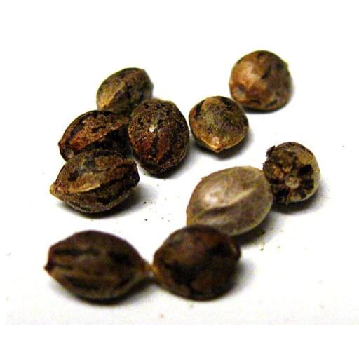 Best Cannabis & Marijuana Seeds